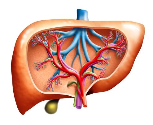 regenerate the liver